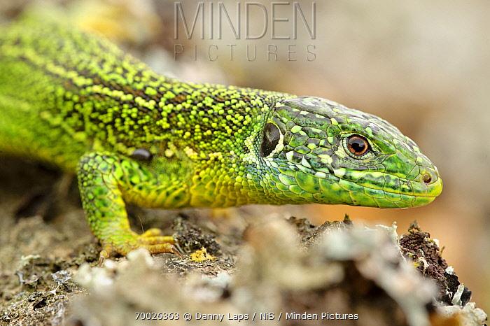 European Green Lizard (Lacerta viridis) showing ear hole, La Brenne, Indre, France  -  Danny Laps/ NiS