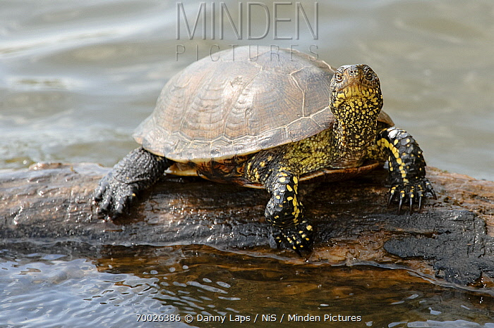 European Pond Turtle (Emys orbicularis) on a tree trunk in the water, La Brenne, Indre, France  -  Danny Laps/ NiS