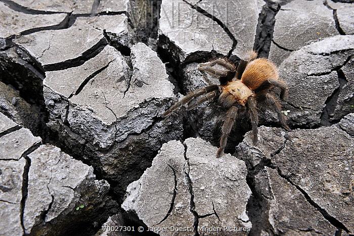 Texas Brown Tarantula (Aphonopelma hentzi) on dry and cracked mud, Hebbronville, Texas  -  Jasper Doest