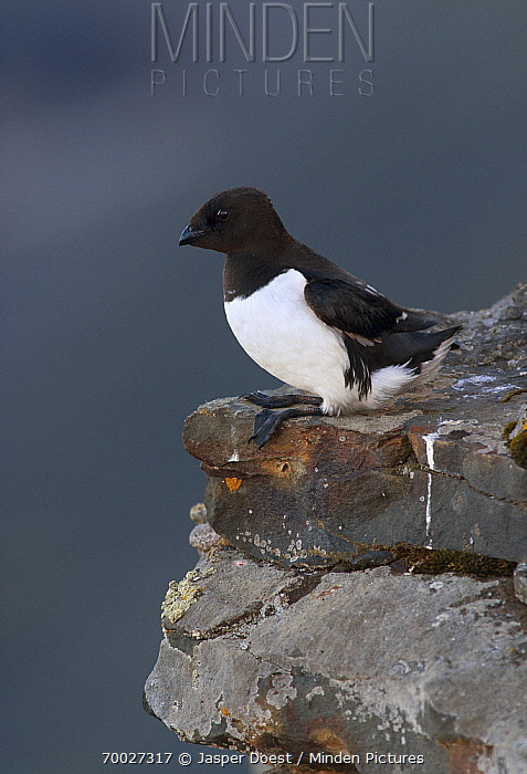 Little Auk (Alle alle) on a ledge, Isfjorden, Svalbard, Norway  -  Jasper Doest
