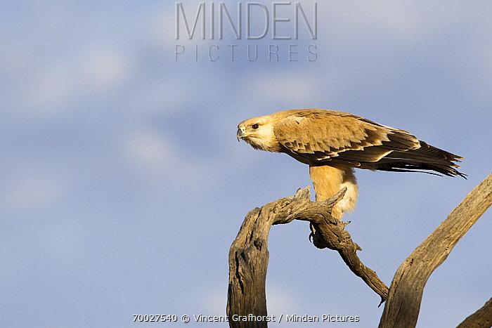 Tawny Eagle (Aquila rapax), Kgalagadi Transfrontier Park, Nossob River, Botswana  -  Vincent Grafhorst