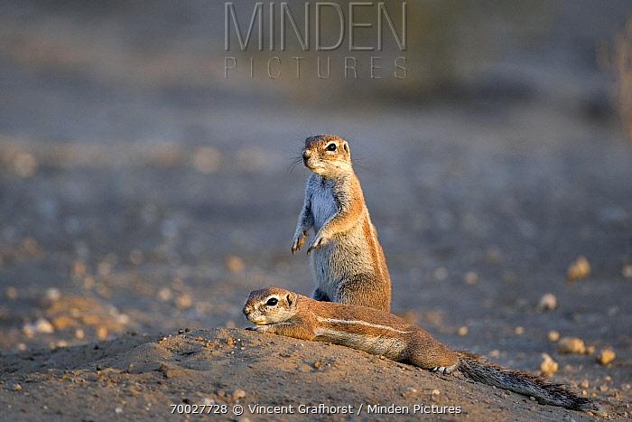 Cape Ground Squirrel (Xerus inauris) pair in the desert, Nossob River, Kgalagadi Transfrontier Park, Botswana  -  Vincent Grafhorst