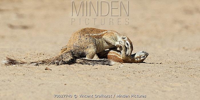 Cape Ground Squirrel (Xerus inauris) pair play fighting, Nossob River, Kgalagadi Transfrontier Park, Botswana  -  Vincent Grafhorst