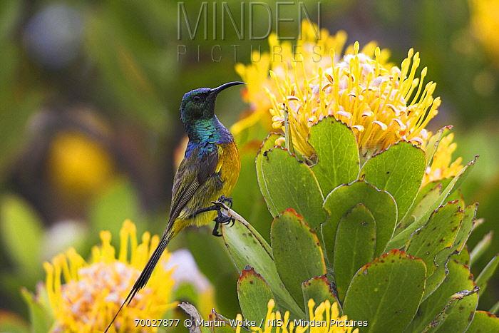Orange-breasted Sunbird (Nectarinia violacea) male on Pincushion (Leucospermum sp), Cape of Good Hope National Park, South Africa  -  Martin Woike/ NiS