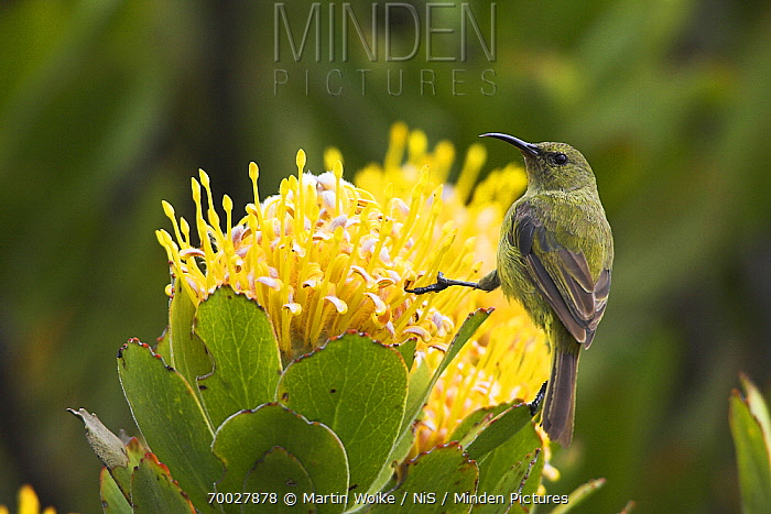 Orange-breasted Sunbird (Nectarinia violacea) female on Pincushion (Leucospermum sp), Cape of Good Hope National Park, South Africa  -  Martin Woike/ NiS