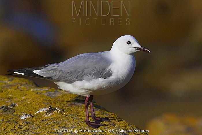 King Gull (Larus hartlaubii), Cape of Good Hope National Park, South Africa  -  Martin Woike/ NiS