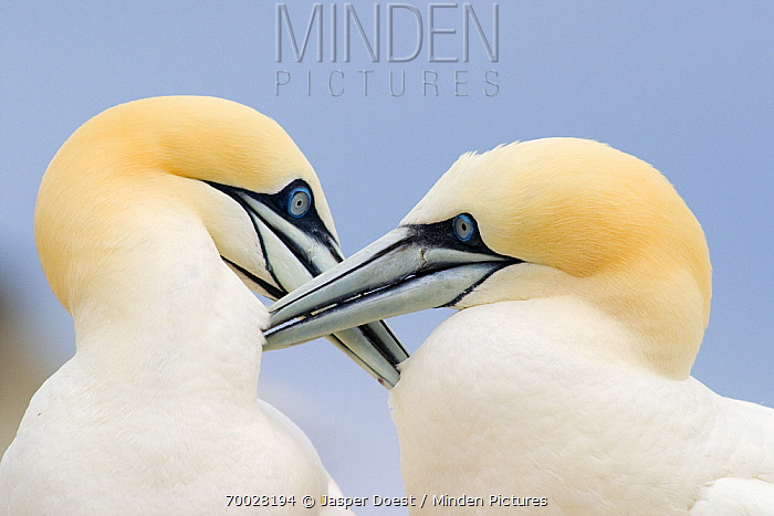 Northern Gannet (Morus bassanus) couple preening each other, Saltee Islands, Ireland  -  Jasper Doest