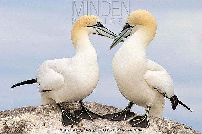 Northern Gannet (Morus bassanus) pair allopreening each other, Saltee Islands, Ireland  -  Jasper Doest