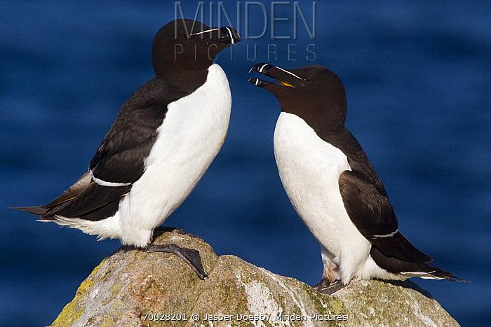 Razorbill (Alca torda) pair on a rock, Saltee Islands, Ireland  -  Jasper Doest