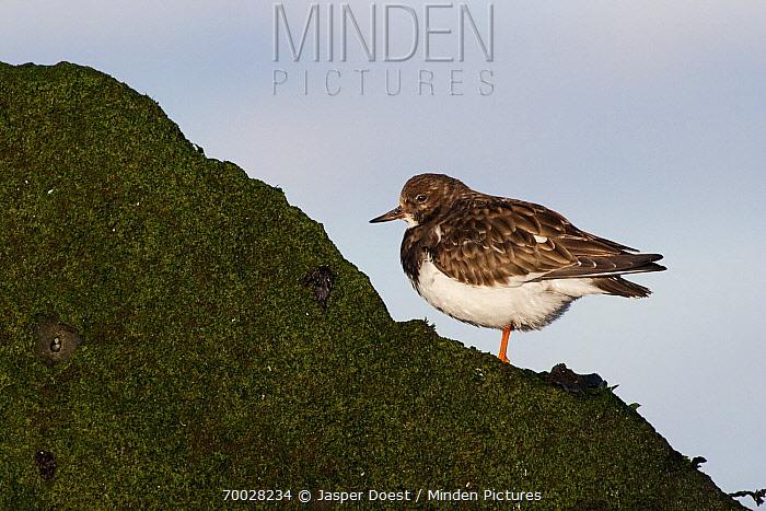 Ruddy Turnstone (Arenaria interpres) on a rock, Hoek van Holland, Zuid-Holland, Netherlands  -  Jasper Doest