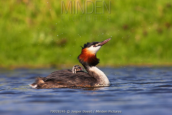 Great Crested Grebe (Podiceps cristatus) parent with chick on back, Vlaardingen, Zuid-Holland, Netherlands  -  Jasper Doest
