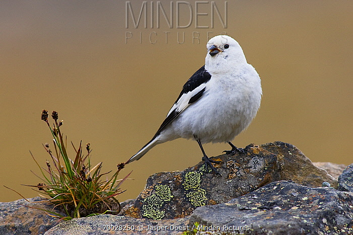 Snow Bunting (Plectrophenax nivalis) male perched on rock, Svalbard, Norway  -  Jasper Doest