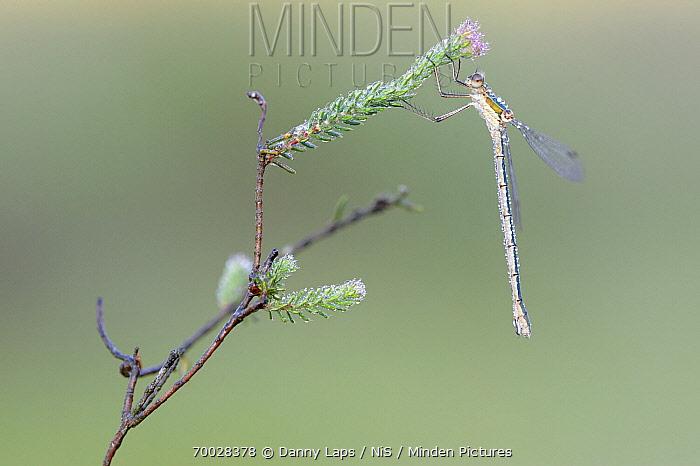 Emerald Damselfly (Lestes sponsa) female on Cross-leaved Heath (Erica tetralix), Antwerp, Flanders, Belgium  -  Danny Laps/ NiS
