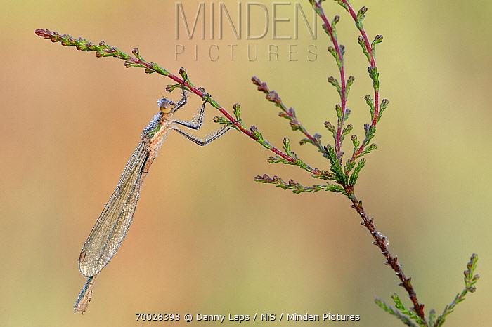 Emerald Damselfly (Lestes sponsa) on Heather (Calluna vulgaris), Campine, Antwerp, Flanders, Belgium  -  Danny Laps/ NiS