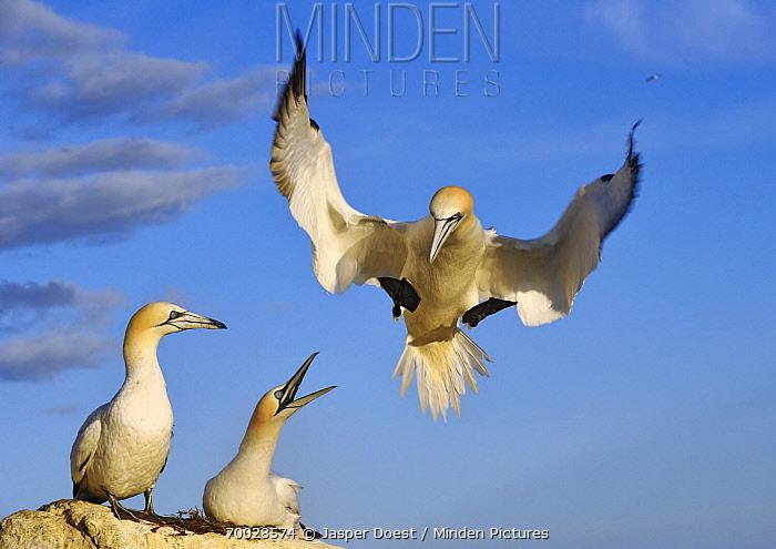 Northern Gannet (Morus bassanus) defending partner, Saltee Island, Ireland  -  Jasper Doest