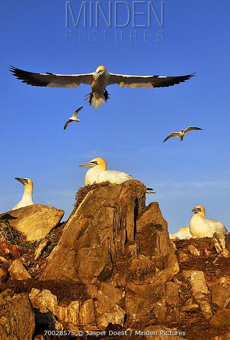 Northern Gannet (Morus bassanus) colony, Saltee Island, Ireland  -  Jasper Doest