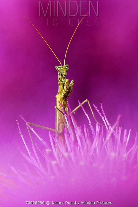 Praying Mantis (Mantis sp)on Texas Thistle (Cirsium texanum), Hebbronville, Texas  -  Jasper Doest