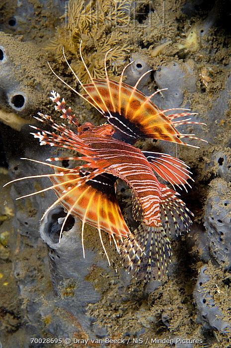 Spotfin Lionfish (Pterois antennata), Bali, Indonesia  -  Dray van Beeck/ NiS