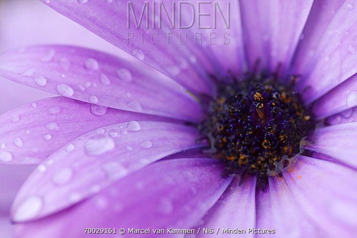 Blue and White Daisybush (Osteospermum ecklonis) flower, Helgoland, Germany  -  Marcel van Kammen/ NiS