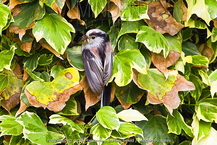 Long-tailed Tit (Aegithalos caudatus) near nest with insects in its bill, Netherlands  -  Otto Plantema/ Buiten-beeld