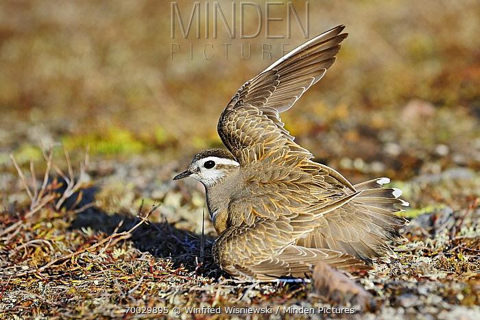 Eurasian Dotterel (Charadrius morinellus) protecting nest by luring predator with broken wing display, Varanger, Norway  -  Winfried Wisniewski