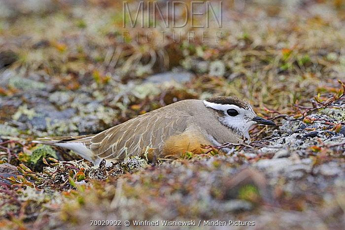 Eurasian Dotterel (Charadrius morinellus) camouflaged on the nest, Varanger, Norway  -  Winfried Wisniewski