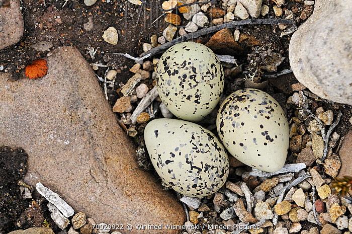Common Ringed Plover (Charadrius hiaticula) eggs camouflaged on ground nest, Varanger, Norway  -  Winfried Wisniewski
