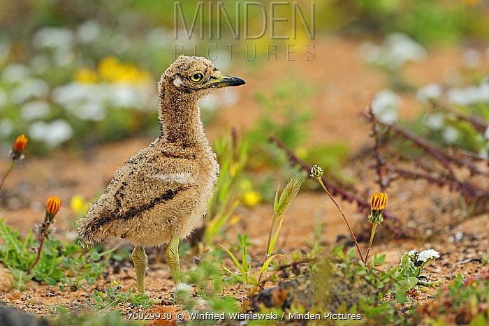 Eurasian Thick-knee (Burhinus oedicnemus) chick, El Jable, Lanzarote, Canary Islands, Spain  -  Winfried Wisniewski