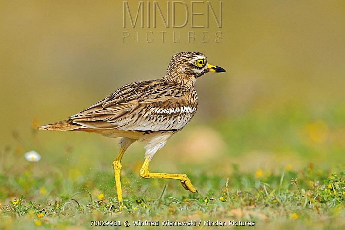 Eurasian Thick-knee (Burhinus oedicnemus) walking, El Jable, Lanzarote, Canary Islands, Spain  -  Winfried Wisniewski