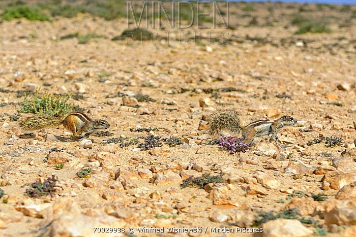 Barbary Ground Squirrel (Atlantoxerus getulus) pair chasing each other, Jandia Nature Reserve, Fuerteventura, Canary Islands  -  Winfried Wisniewski