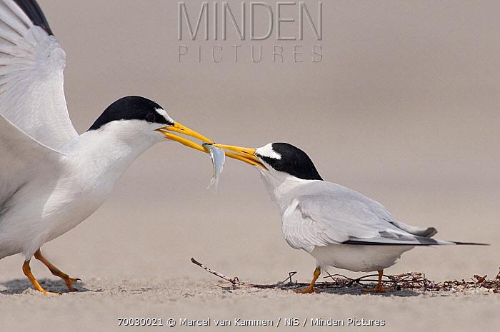 Least Tern (Sterna antillarum) male presenting fish to female, Corpus Christi, Texas  -  Marcel van Kammen/ NiS