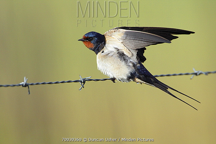 Barn Swallow (Hirundo rustica) on barbed wire, Alentejo, Portugal  -  Duncan Usher