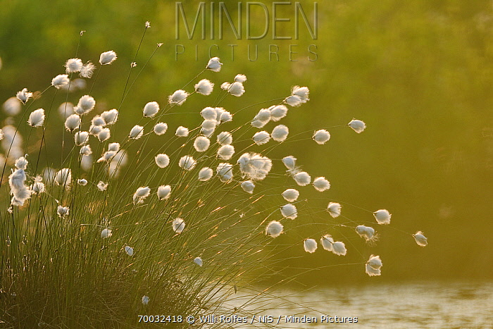 Hare's-tail Cottongrass (Eriophorum vaginatum) at waters edge, Goldenstedt, Lower Saxony, Germany  -  Willi Rolfes/ NIS