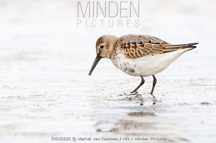 Dunlin (Calidris alpina) walking in mud, Holwerd, Friesland, Netherlands  -  Marcel van Kammen/ NiS