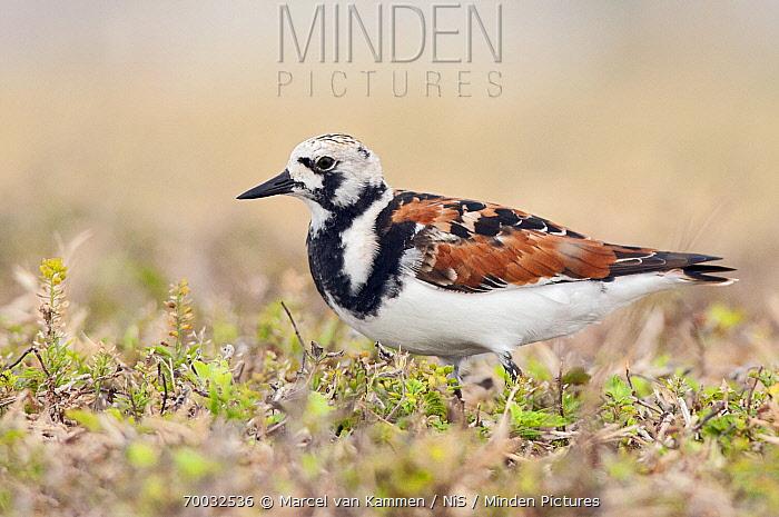 Ruddy Turnstone (Arenaria interpres), Florida  -  Marcel van Kammen/ NiS