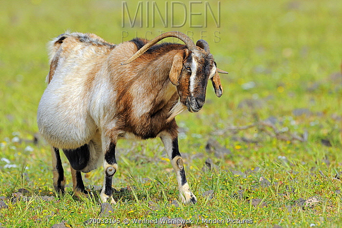 Domestic Goat (Capra hircus) pregnant, El Jable, Lanzarote, Canary Islands, Spain  -  Winfried Wisniewski