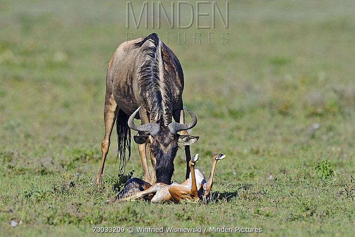 Blue Wildebeest (Connochaetes taurinus) female cleaning newborn calf, Serengeti National Park, Tanzania. Sequence 4 of 7  -  Winfried Wisniewski