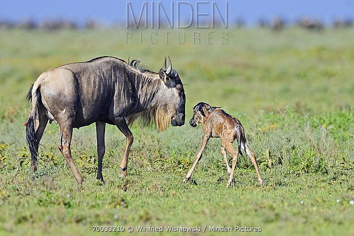 Blue Wildebeest (Connochaetes taurinus) female with newborn calf, Serengeti National Park, Tanzania. Sequence 5 of 7  -  Winfried Wisniewski