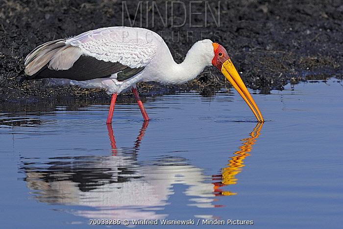 Yellow-billed Stork (Mycteria ibis) foraging in the Chobe River, Chobe National Park, Botswana  -  Winfried Wisniewski