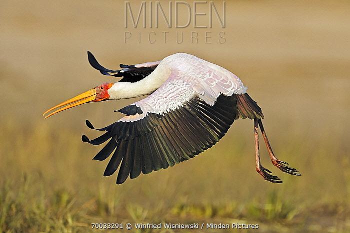 Yellow-billed Stork (Mycteria ibis) landing, Chobe National Park, Botswana  -  Winfried Wisniewski
