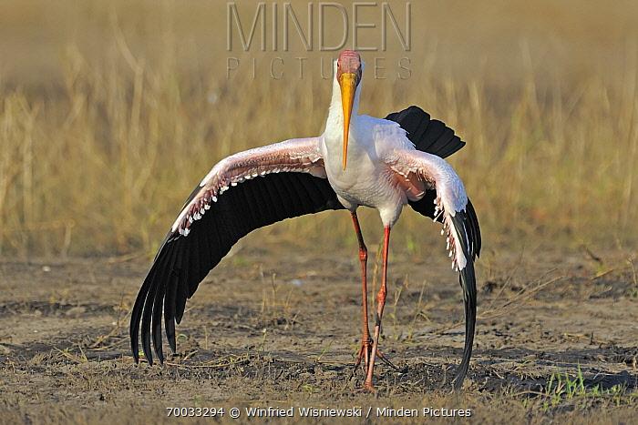 Yellow-billed Stork (Mycteria ibis) with wings spread, Chobe National Park, Botswana  -  Winfried Wisniewski