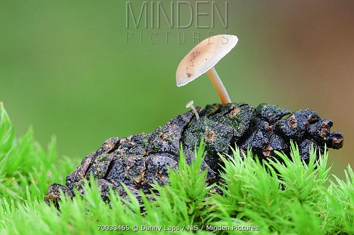 Douglas Fir Mushroom (Baeospora myosura) growing on a pine cone, Netherlands  -  Danny Laps/ NiS
