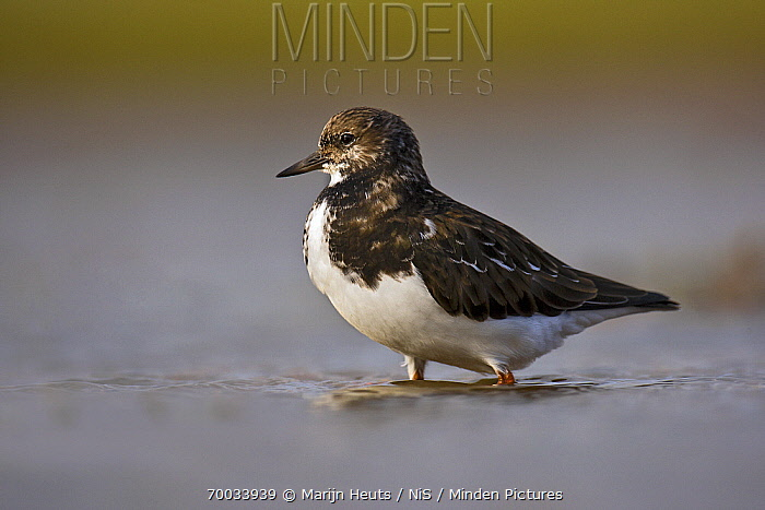 Ruddy Turnstone (Arenaria interpres) wading, United Kingdom  -  Marijn Heuts/ NiS