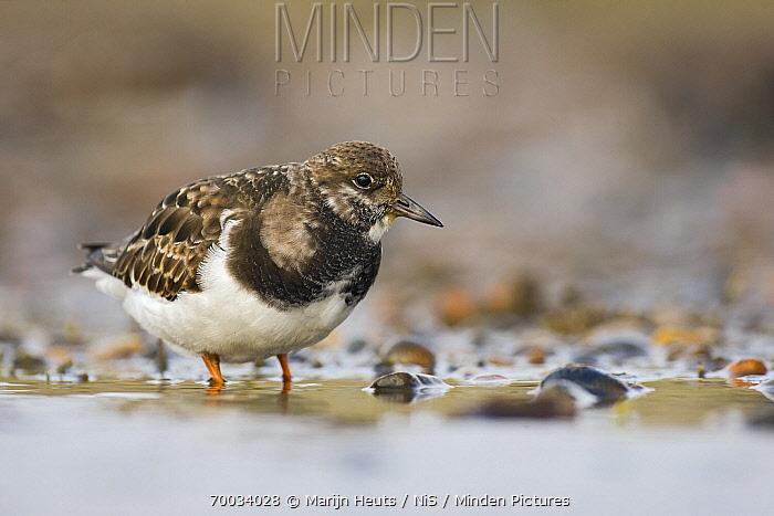 Ruddy Turnstone (Arenaria interpres) in shallow water, United Kingdom  -  Marijn Heuts/ NiS