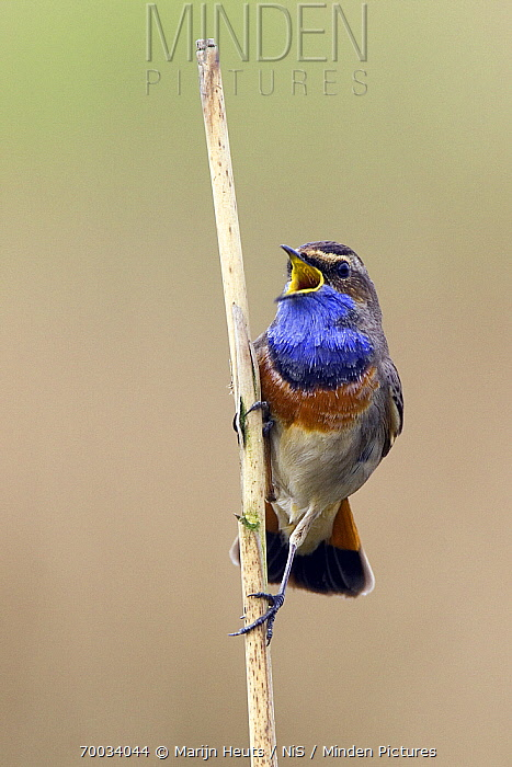 Bluethroat (Luscinia svecica) male singing, Netherlands  -  Marijn Heuts/ NiS