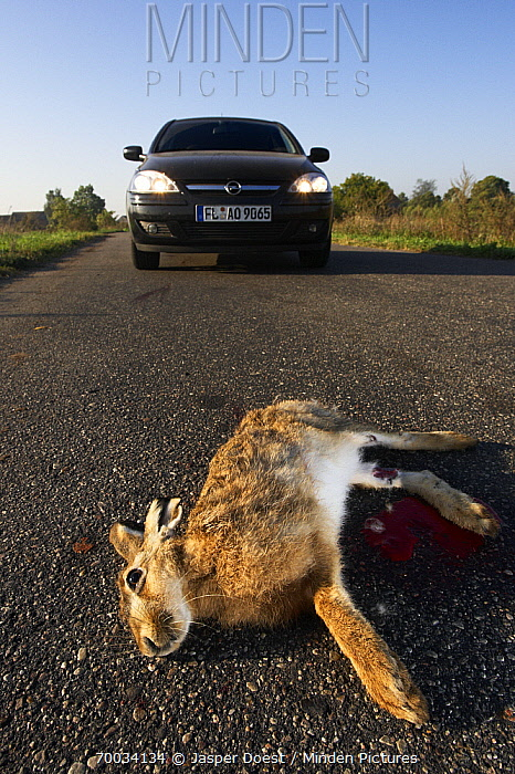 European Hare (Lepus europaeus) dead in front of a car, Oder Delta, Poland  -  Jasper Doest