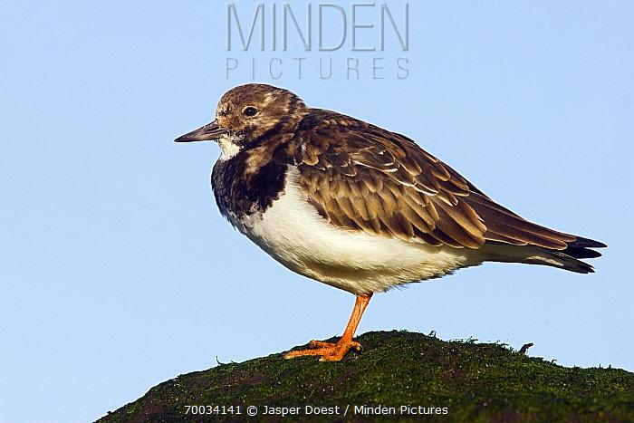 Ruddy Turnstone (Arenaria interpres) perched on a rock, Hoek van Holland, Zuid-Holland, Netherlands  -  Jasper Doest