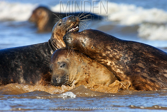 Grey Seal (Halichoerus grypus) trio play fighting, Donna Nook, Lincolnshire, United Kingdom  -  Jasper Doest