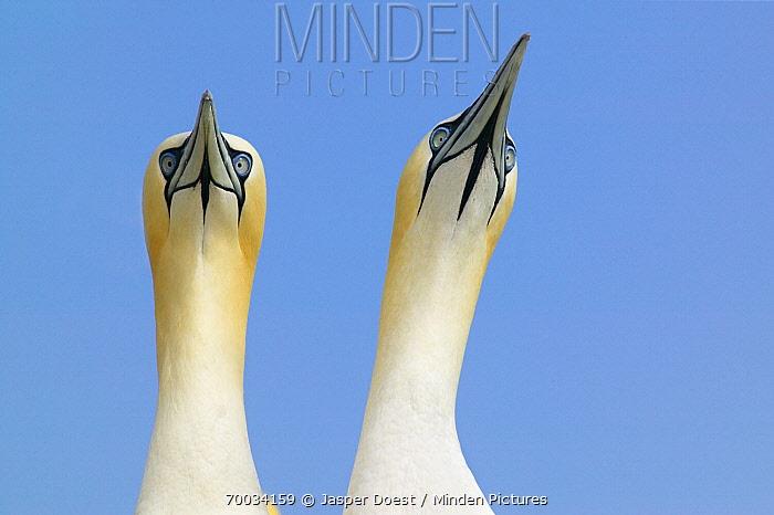 Northern Gannet (Morus bassanus) pair, Saltee Island, Ireland  -  Jasper Doest