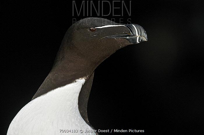 Razorbill (Alca torda), Saltee Islands, Ireland  -  Jasper Doest